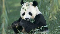 The Giant Panda Quiz tests your knowledge of interesting facts about giant pandas and their roles in environmental conservation and international diplomacy.  The quiz has 10 questions.  Your...