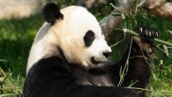Panda Awareness Week (PAW) kicked off on July 4 in London.  Among the world's rarest and most threatened animals, giant pandas are adorably plump, prominent symbols of nature's treasures, international...