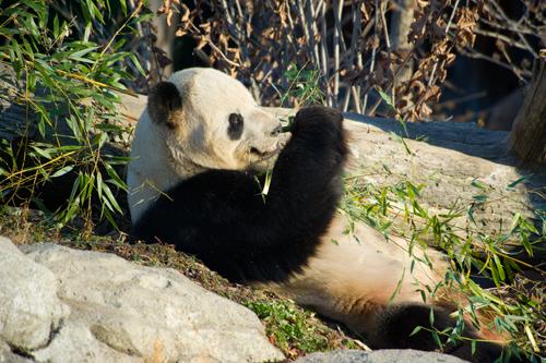 Giant Panda Quiz Global Sherpa